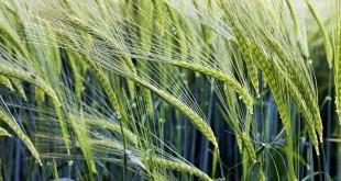 Getreidefütterung