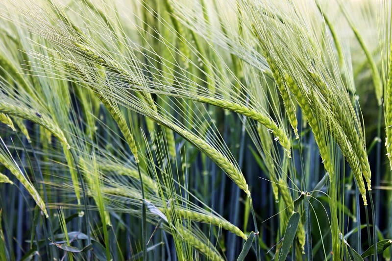 Ein Acker unreifer Gerste als Sinnbild für die Getreidefütterung