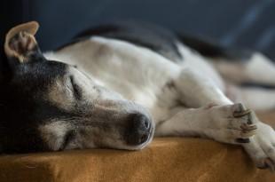 ein älterer Hund, der gemütlich döst als Sinnbild für die Rohfütterung im Alter