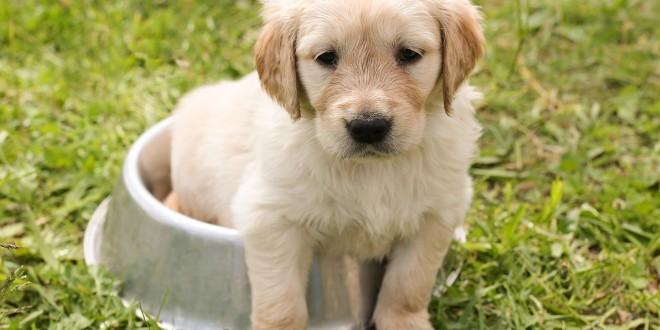 Ein Welpe in einer Schüssel als Sinnbild für die Rohfütterung bei Welpen und Junghunden