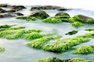 Ein beispielhaftes Bild von Meeresalgen