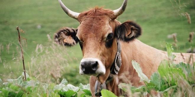 Eine auf einer Weide liegende Kuh