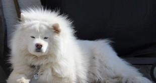 Ein Hund mit dickem Fell