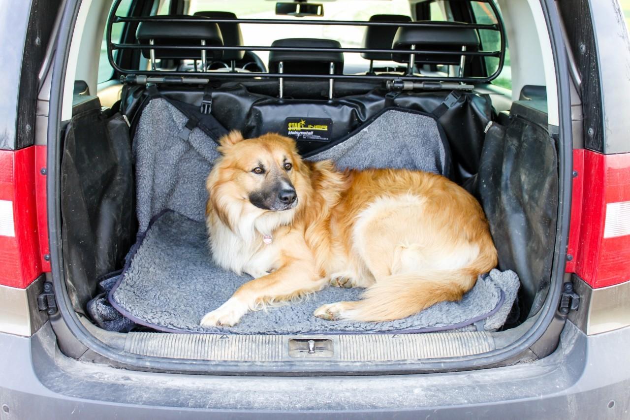 Ein Hund im Kofferraum eines Autos