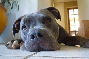 ein Pitbull als SInnbild für die Listenhundbestimmungen