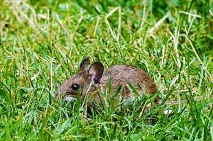 Mäuse sind nur einer von vielen Leptospiren-Wirten