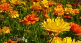 Ringelblumen / Calendula