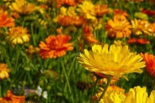 ein Feld von Ringelblumen