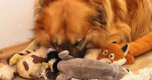 Hund kuschelt mit seinen Stofftieren