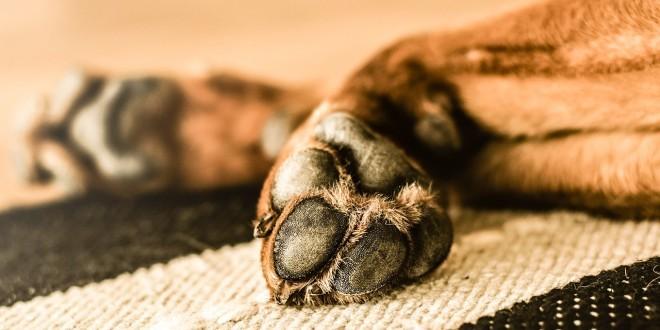 die Vorderhand eines Hundes