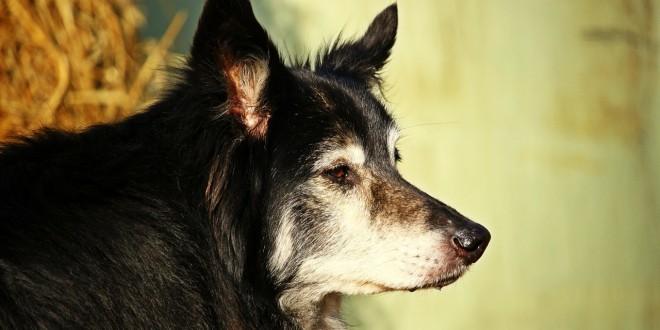 ein älterer Hund als Sinnbild für die Alterserscheinung Arthrose