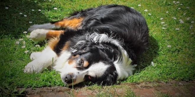 ein Hund liegt müde in der Sonne