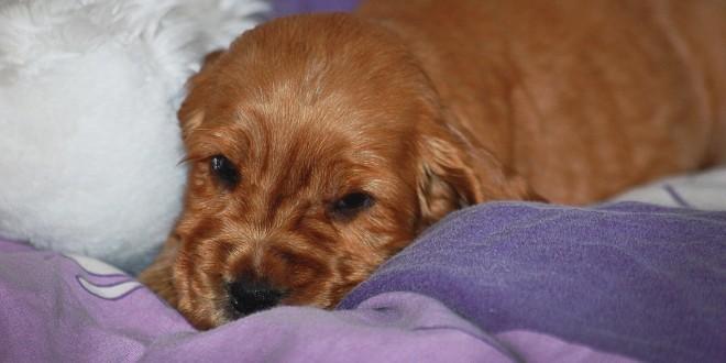 ein schlafender Hund als Sinnbild für einen an Zwingerhusten erkrankten Hund