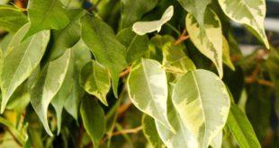 ein Bild einer Birkenfeige