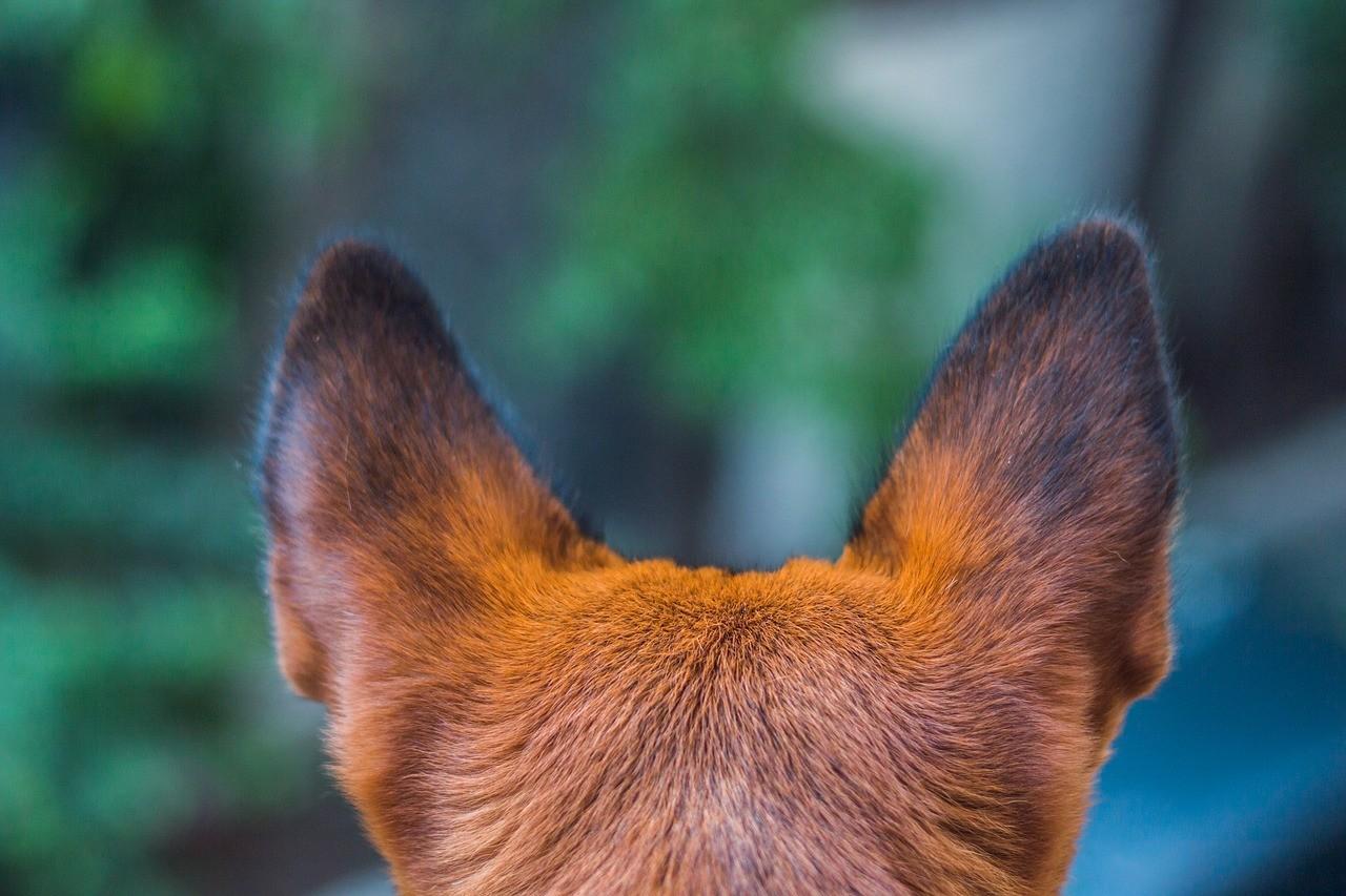 Zwei Stehohren eines Hundes von hinten