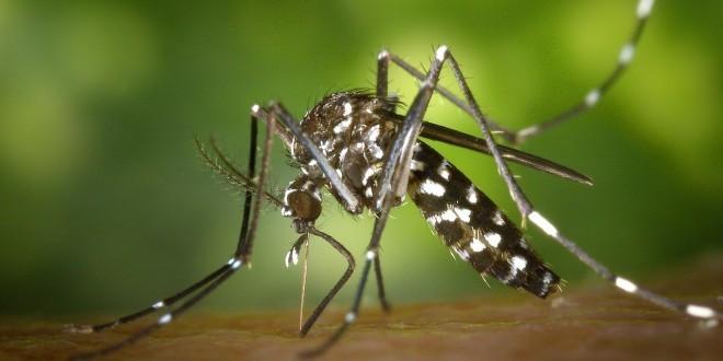 eine Tigermücke als Sinnbild