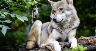 ein Wolf als Sinnbild für den karnivoren Ursprung des Hundes