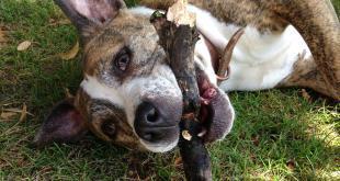 ein Listenhund mit einem Stock