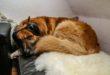ein Hund mit Gehoerschutz