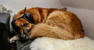 Erfahrungsbericht: Gehörschutz für Hunde gegen Silvesterangst