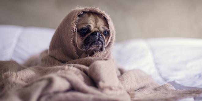 ein traurig schauender Hund im Bett